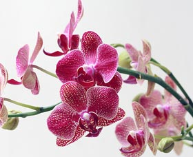 orquideas dia de la madre
